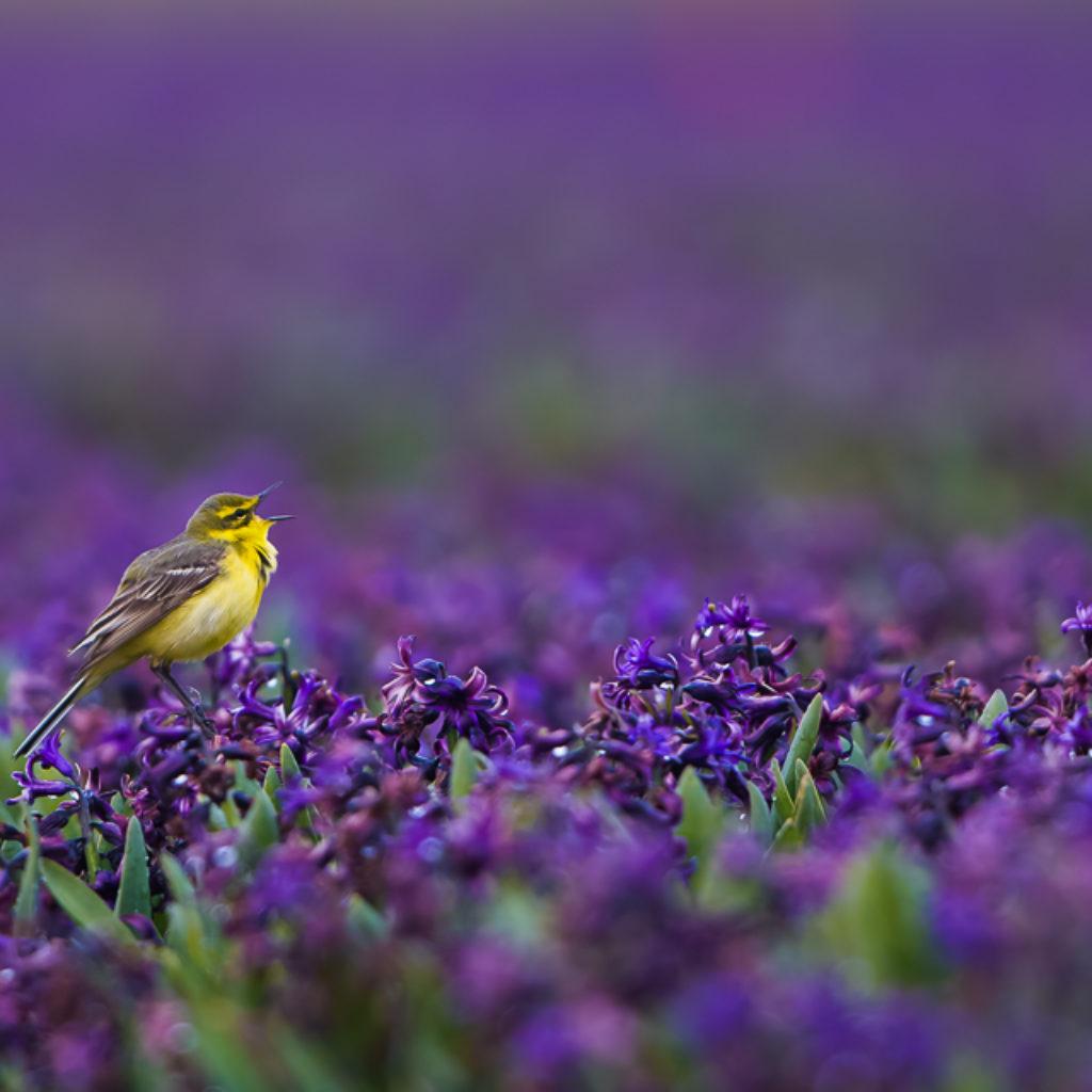 Singing Purple Rain