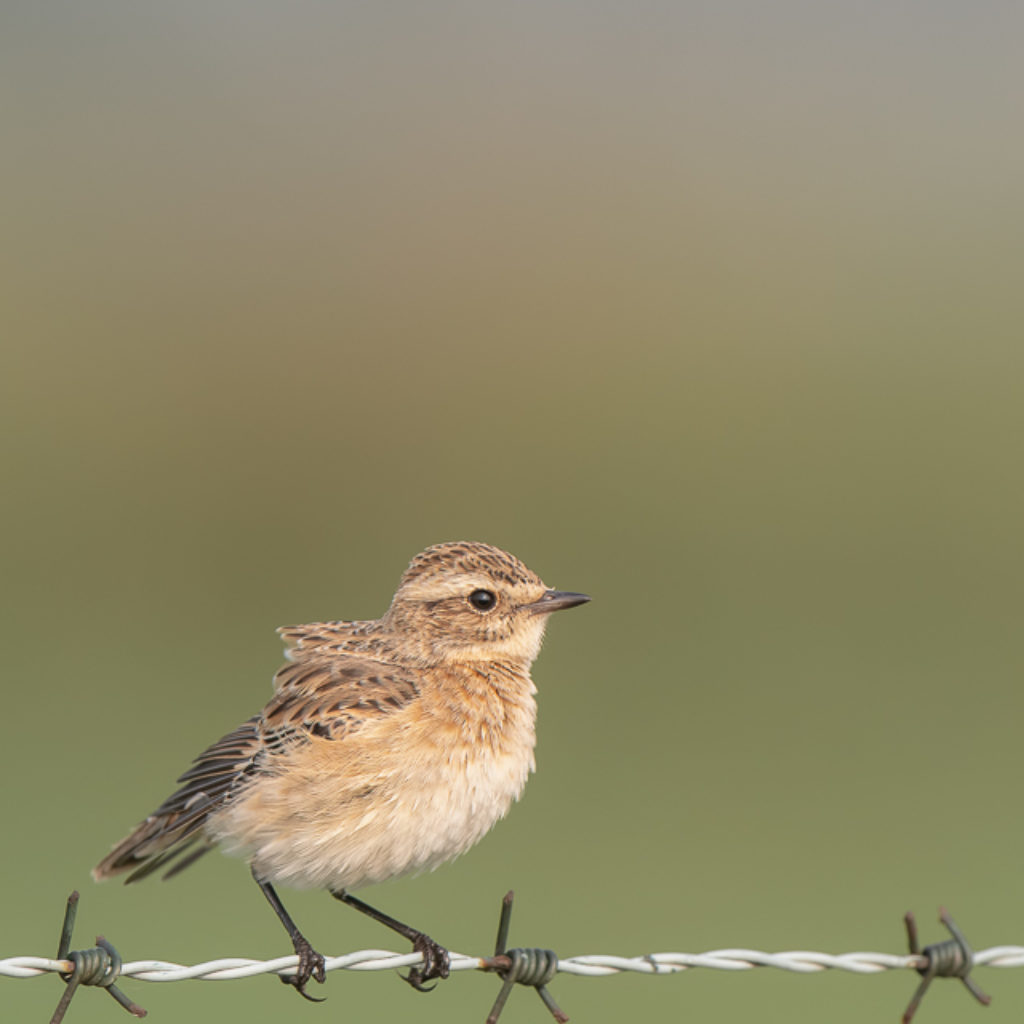 Whinchat in Numbers