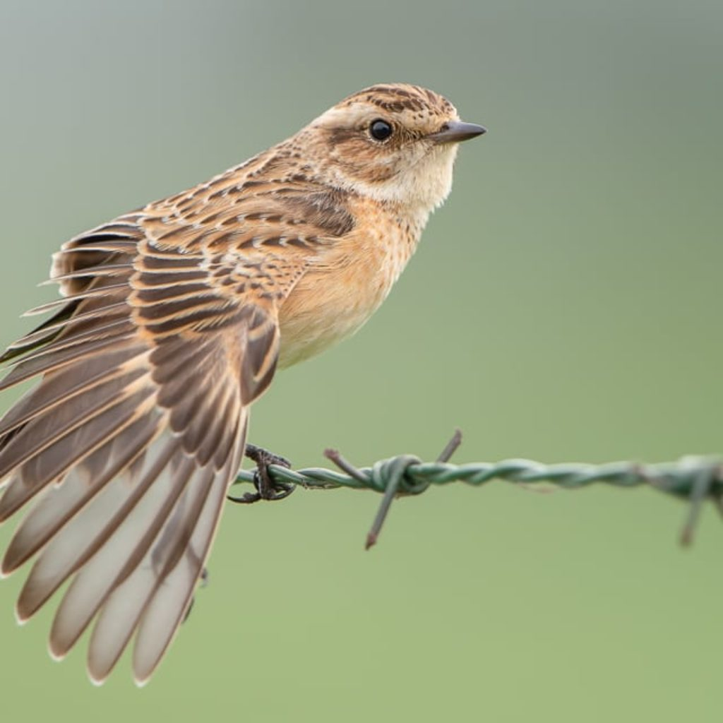 Whinchat on a Wire