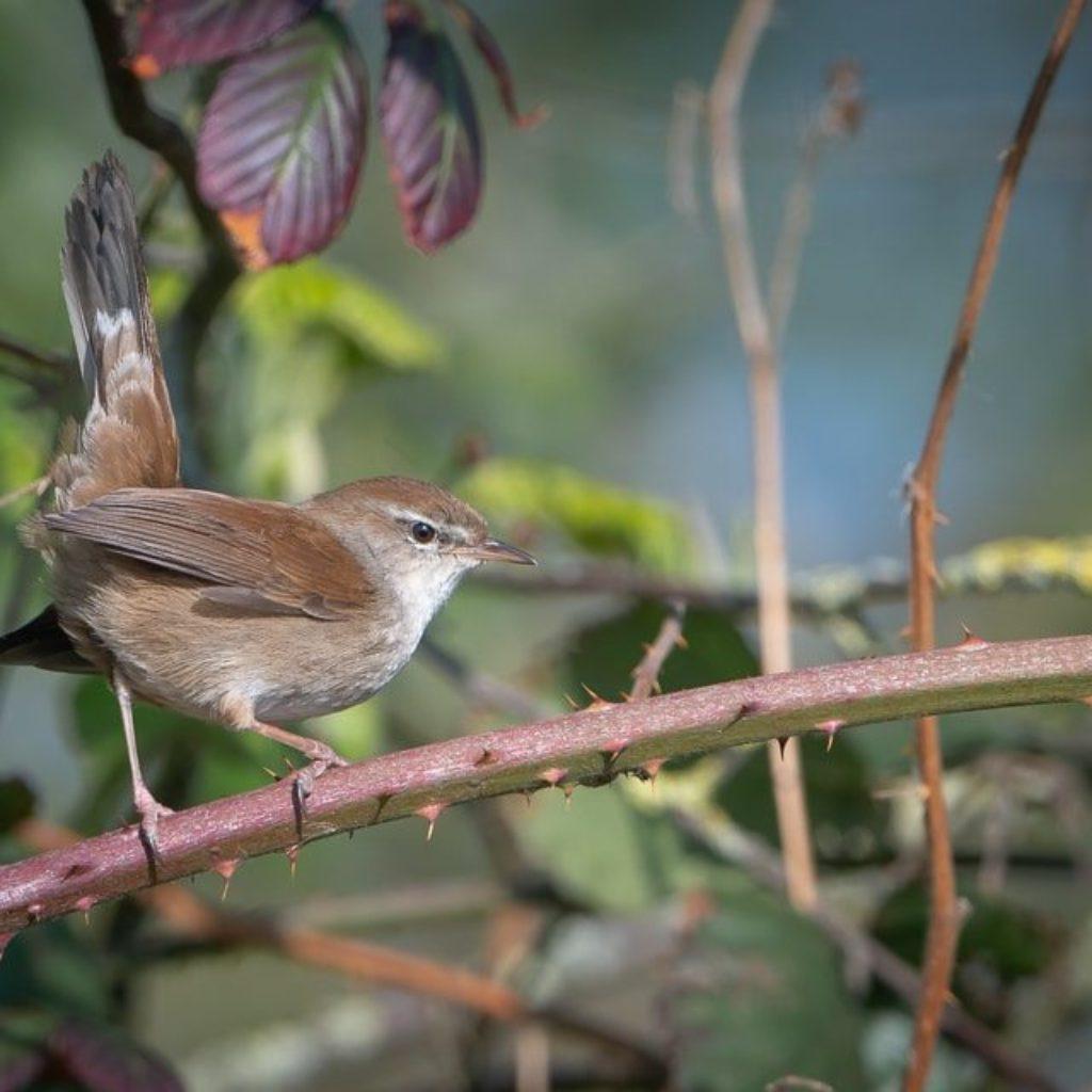 Cetti's Warbler: BOPH
