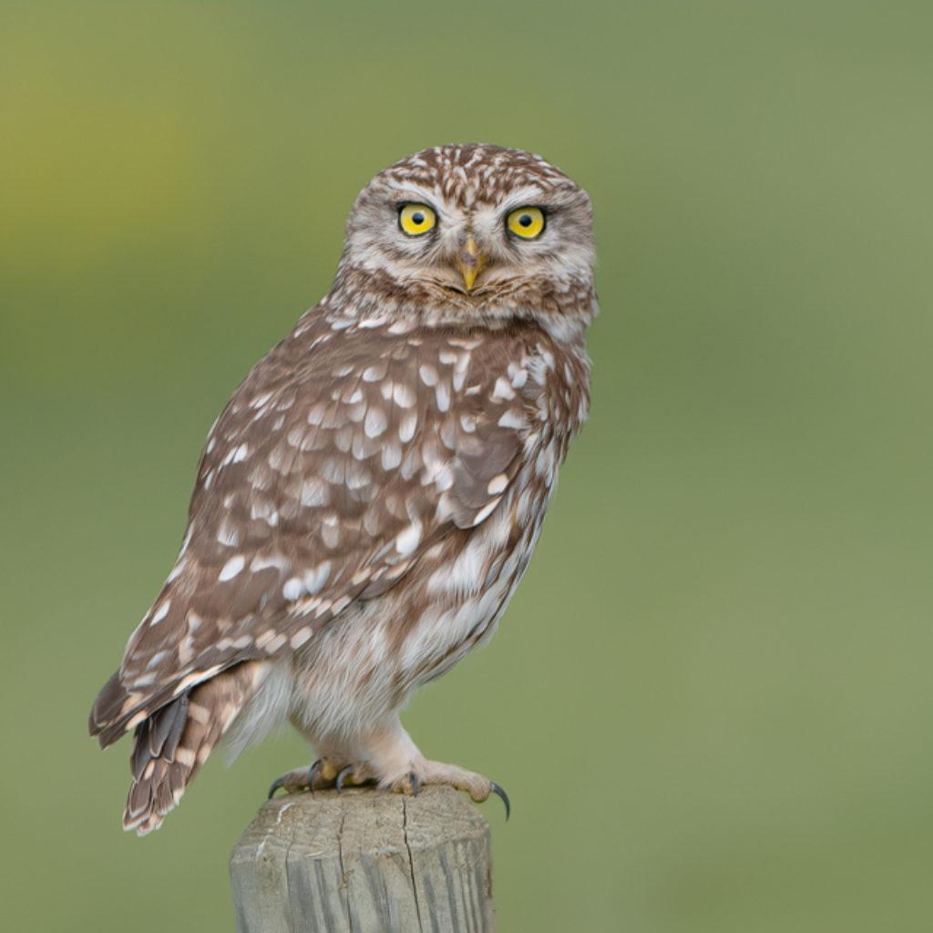 The Little Owl on the Prairie