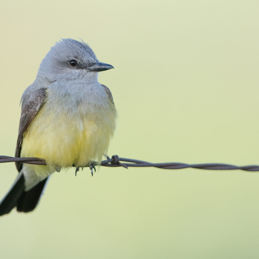 Wireless Western Kingbird