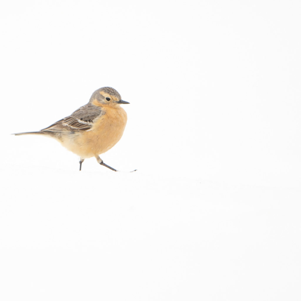American Pipit – the Alticola Edition