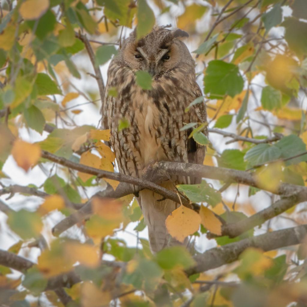 Owls in Fall Foliage