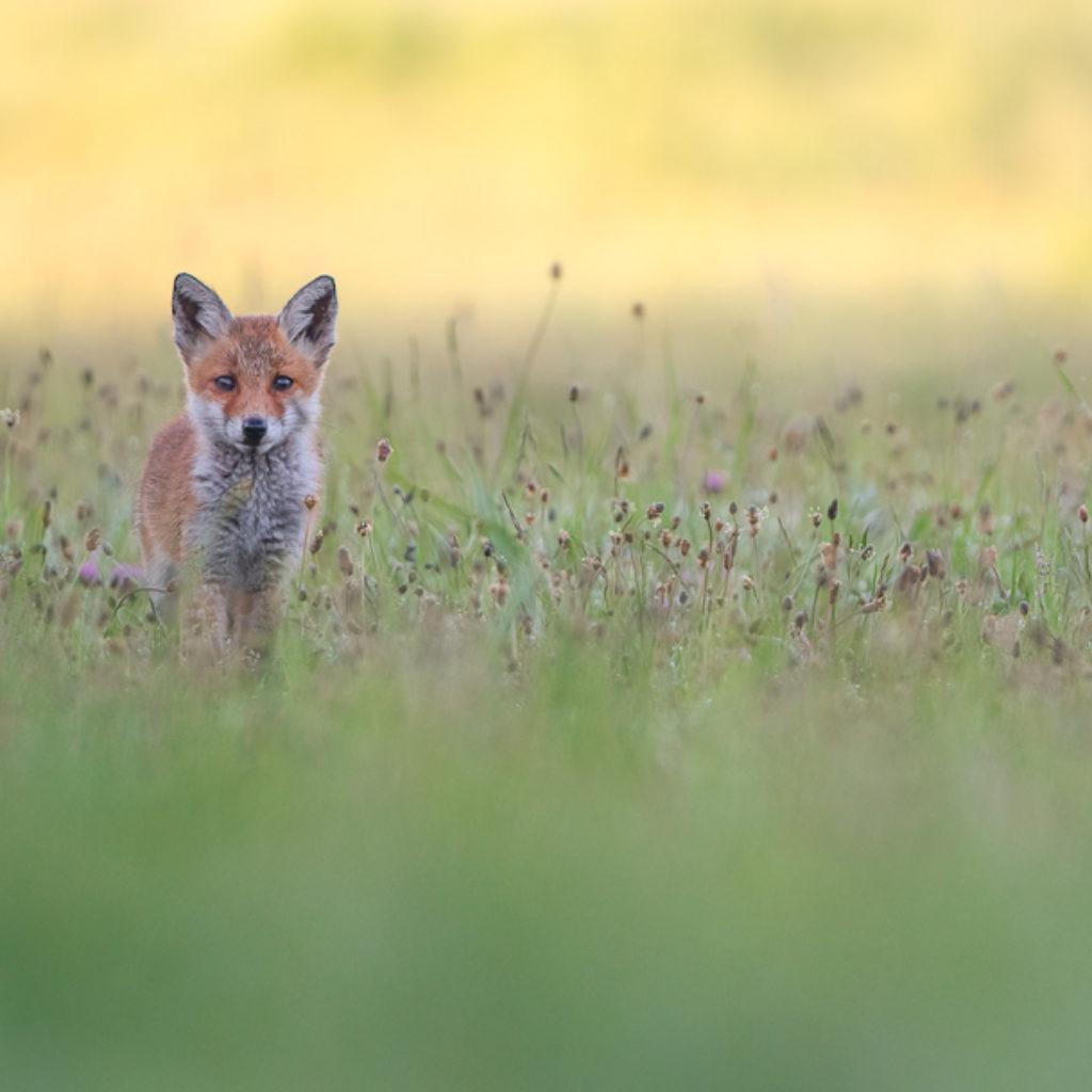 Fair Foxes