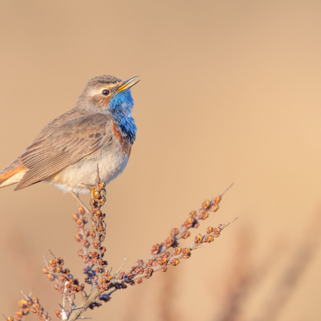 Bluethroat – Basic