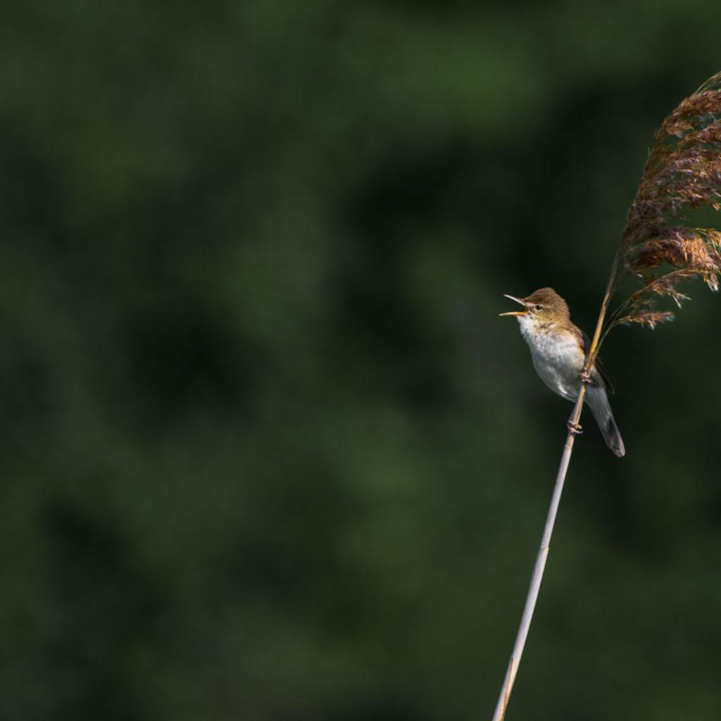 Blyth's Reed-Warbler