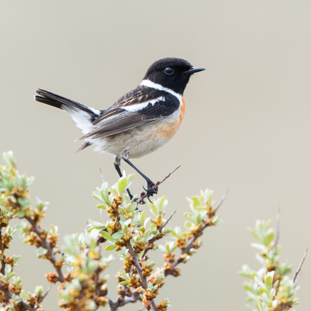 Stonechat: Renewed and even more beautiful!