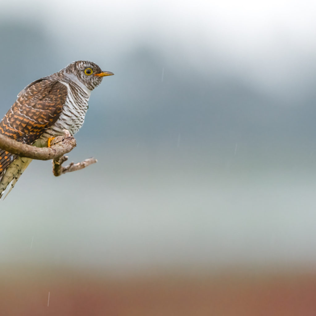 Coming to terms with a Cuckoo
