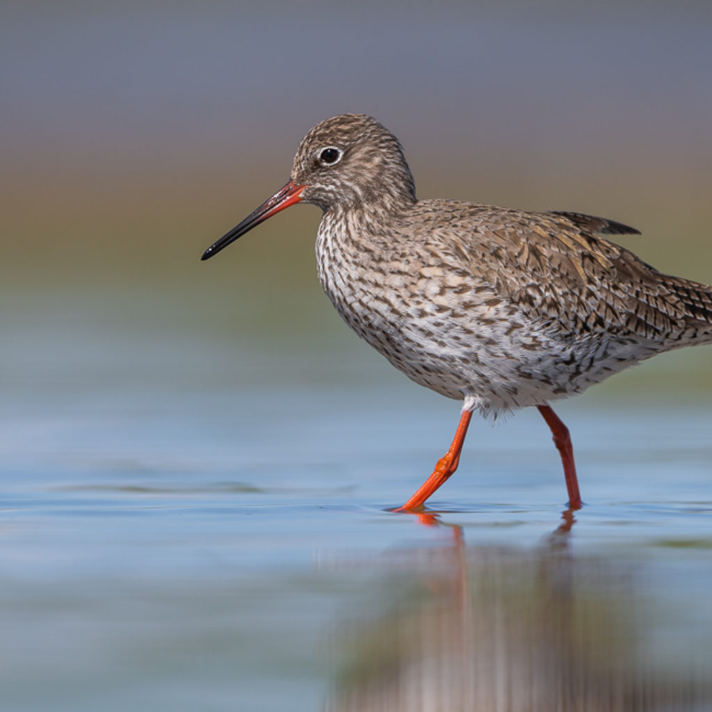 Redshank without a cause