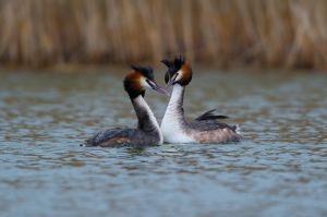 Great Crested Grebe | Fuut