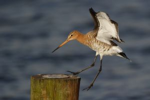 Black-tailed Godwit | Grutto