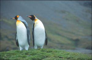 King Penguin (South Georgia)