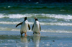 Gentoo Penguin (Falklands)