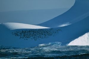 Chinstrap Penguin (Southern Icesea)