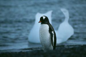 Gentoo Penguin (Antarctic Peninsula)
