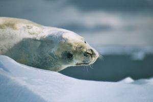 Crabeater Seal (Antarctic Peninsula)