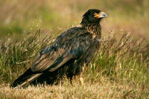 Johnny Rook (Falklands)
