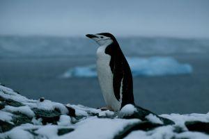 Chinstrap Penguin (Antarctic Peninsula)