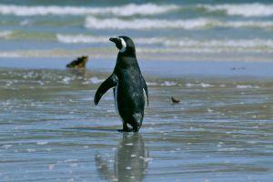 Magelhan Penguin (Falklands)