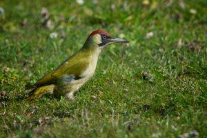 Green Woodpecker | Groene Specht