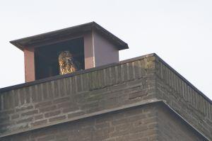 Eagle Owl | Oehoe