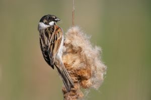 Reed Bunting | Rietgors