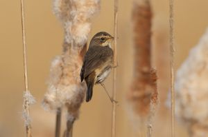 Bluethroat female | Blauwborst