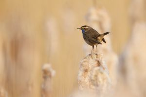 Bluethroat | Blauwborst