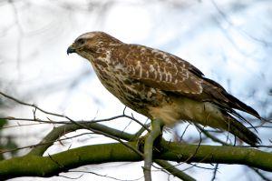 Common Buzzard | Buizerd