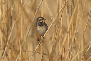Bluethroat fem.| Blauwborst