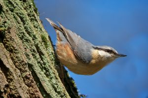 Nuthatch | Boomklever
