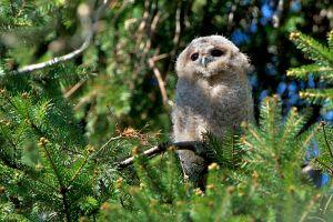 Tawny Owl juv. | Bosuil