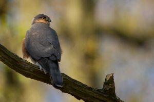 Sparrow-hawk male | Sperwer