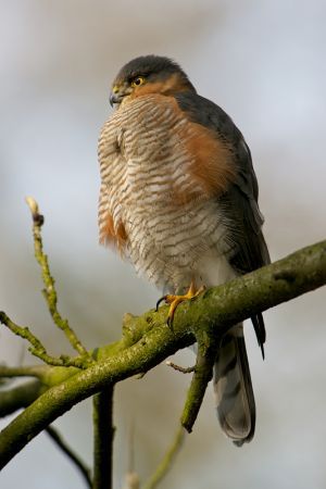 Sparrow-hawk | Sperwer