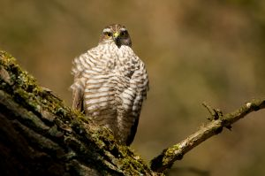 Sparrow-hawk fem. | Sperwer