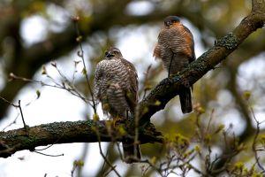Sparrow-hawk fem.   Sperwer
