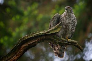 Sparrow-hawk female | Sperwer