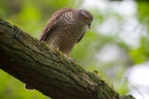 Sparrow-hawk female | Sperwer