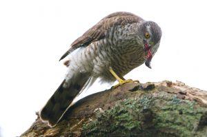 Sparrow-hawk | Sperwer