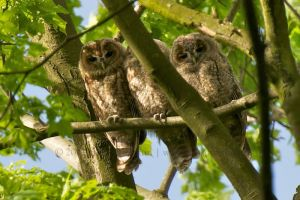 Tawny Owl   Bosuil