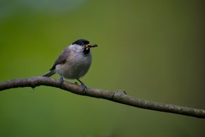 Marsh Tit | Glanskop