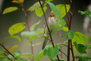 Marsh Warbler   Bosrietzanger