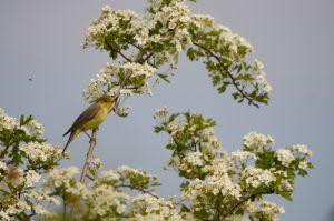 Ictrine Warbler   Spotvogel