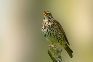 Song Thrush | Zanglijster