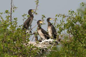 Great Cormorant juv.   Aalscholver