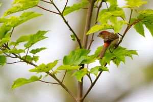Common Rosefinch | Roodmus
