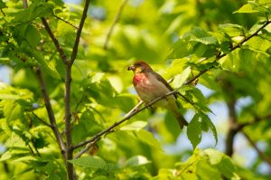 Common Rosefinch | Roodmus