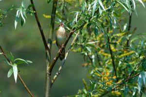 River Warbler | Krekelzanger