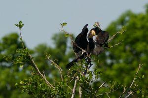 Great Cormorant   Aalscholver